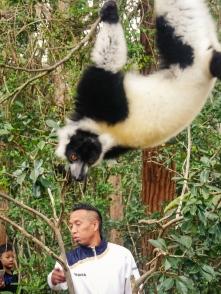 Acrobat lemur (3)