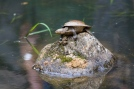 A small turtle on a rock